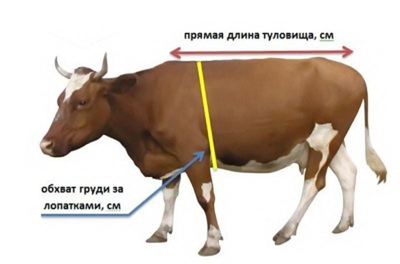 Определить вес коровы с помощью Хорошун